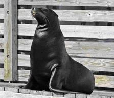 Adopt this handsome sea lion