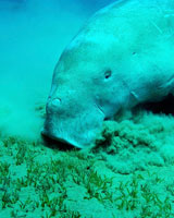 Learn what manatees eat.