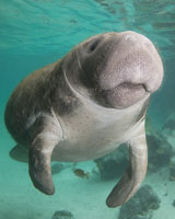 Learn about manatee size.