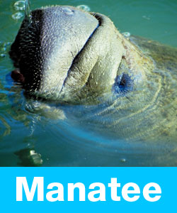 Learn about manatees.