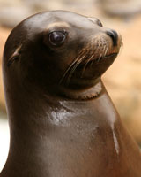 Sea lion lifespan.