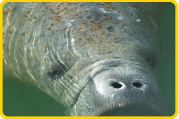 Dolphin Research Center is the Manatee Rescue Team for the Florida Keys.