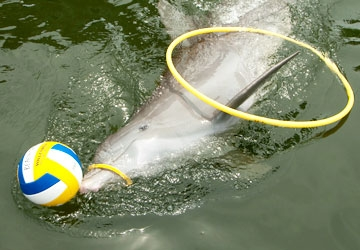 A.J. plays with toys during his Dolphin Explorer and Play with the Do
