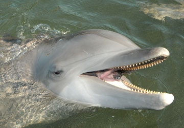 Aleta is a beautiful Atlantic bottlenose dolphin who lives at Dolphin