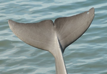 Although all tailflukes are unique to each dolphin, Aleta's small