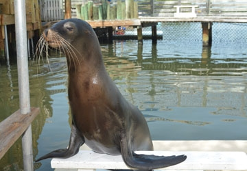 Diamond is the youngest member of our sea lion colony.