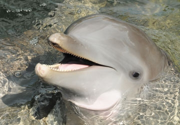 Flagler is a handsome bottlenose dolphin.