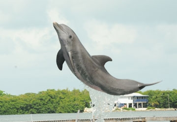 Gypsi is a very athletic dolphin who lives in Florida.