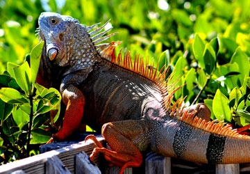 Iguanas are often found on top of mangrove bushes.