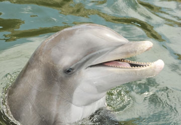 Jax is a rescued bottlenose dolphin.