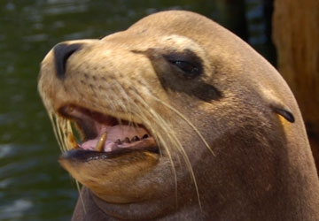 What a handsome California sea lion.