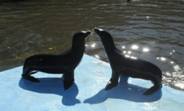 Can you tell these California sea lions apart?