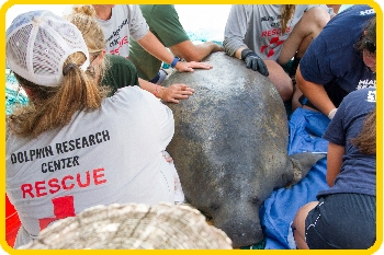 Team stabilizes manatee on land for examination.