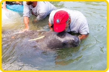 Our leader gives the manatee a kiss for luck before it was released.