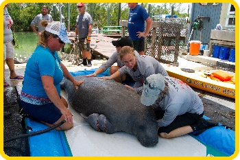 Medical personnel exam an injured manatee.