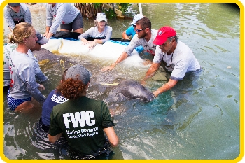 It's always great when we can release a healed manatee back into