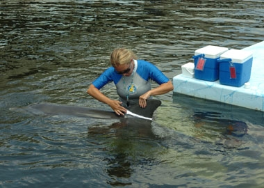 To ensure observer's reliability in dolphin identification, Emily Guarino, Admin. Director of Research, applies harmless zinc oxide to a dolphin's dorsal fin.