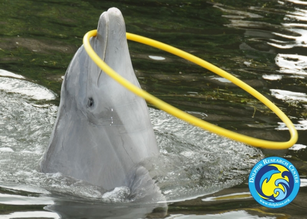 A dolphin with a hula hoop around its nose