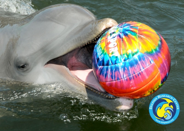 A dolphin with a brightly colored ball in its mouth.