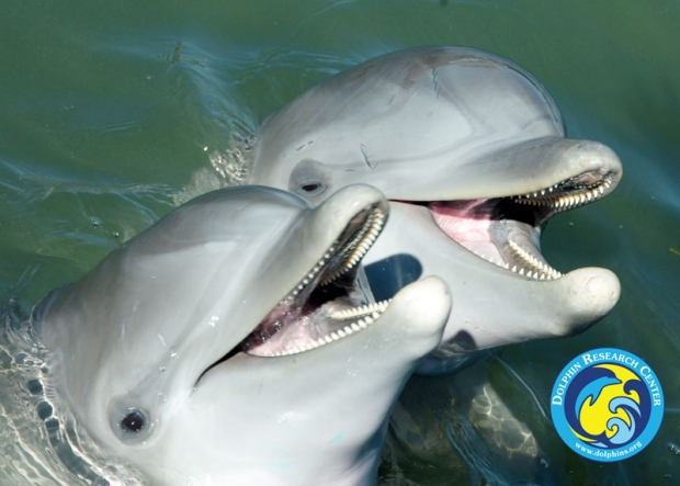 Two Dolphins heads above water