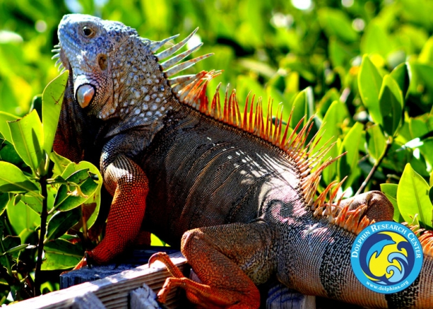 A close-up of a green iguana