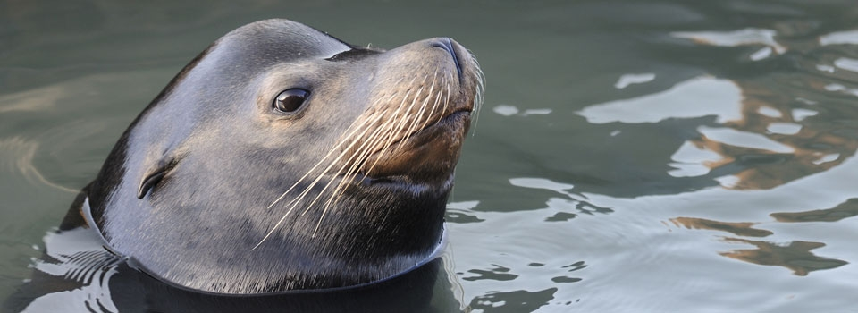 Sea Lion Info - Dolphin Research Center
