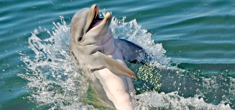 A happy dolphin swimming backwards