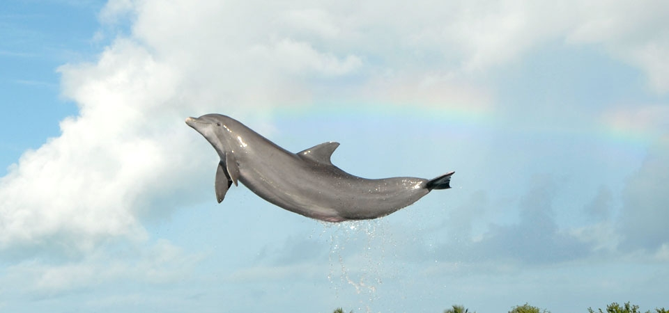 A dolphin leaping high. The water is cropped from the photo and the d