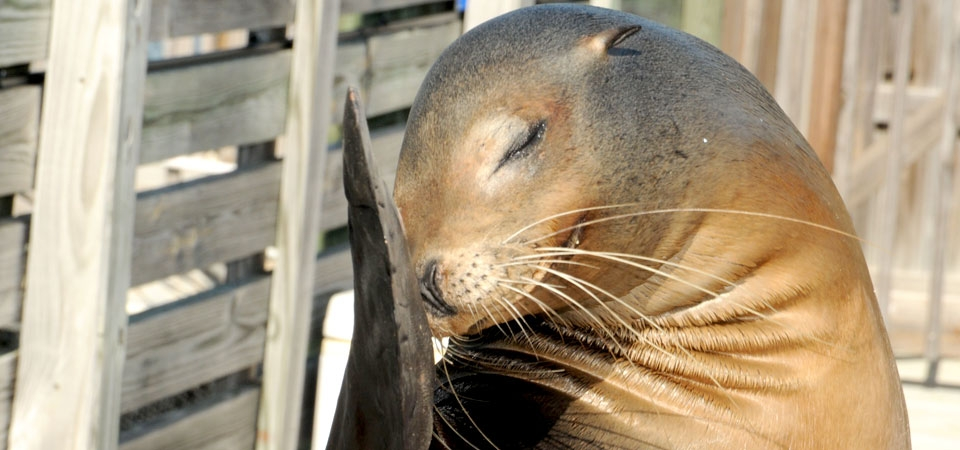 A bashful sea lion hides its head behind its fin