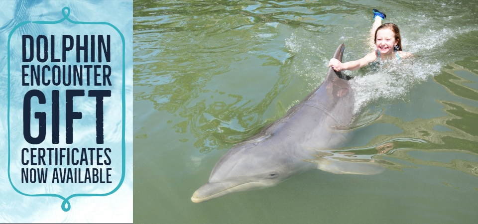 Deliver someone's dream of swimming with dolphins with a Dolphin Encounter gift certificate! Purchase in person at DRC, or call 305.289.0002 (9 a.m. to 4 p.m. eastern time).
