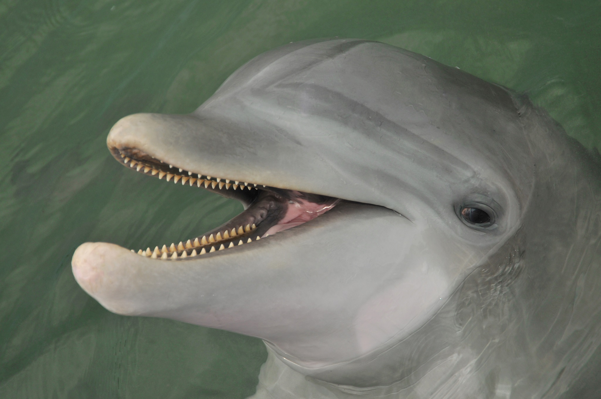Learn about dolphin teeth.