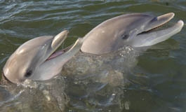 A thumbnail image for 'Life Expectancy of Dolphins'