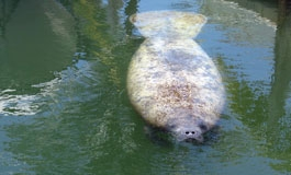 A thumbnail image for 'DRC's Role in Manatee Assistance'