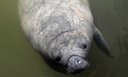 A thumbnail image for 'Tips to Protect Manatees'