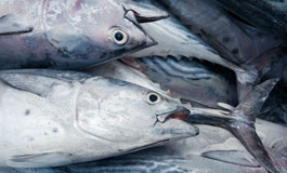 A thumbnail image for 'The Dolphin/Tuna Problem'